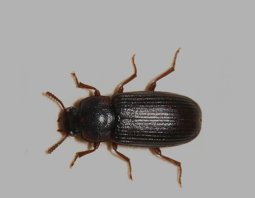 FLAT GRAIN BEETLE