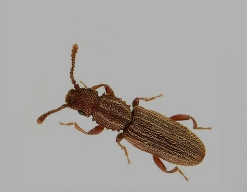 SAW TOOTHED GRAIN BEETLE